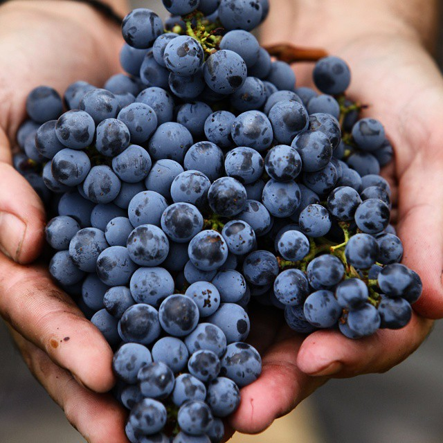 Words canT describe the feeling... Holding in our hands precious Limnio grapes from our vineyard in Mt Athos.  #2014harvestgr #passion #rewarding #caring #teamwork #harvest #nature #inspiring #challenge #greekgrapes #drinkgreek #wineexperience #winelover #MtAthos #secluded #monastic #beauty #bliss #love #winerist #limnio #moment #unique