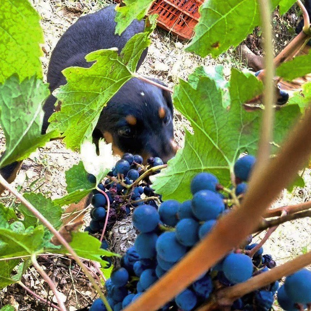 Inspecting the grapes... #halkidiki #greekvines #2014harvestgr #harvest2014 #greece #greekgrapes #teamwork #passion #fun #moment #winelover #drinkgreek #greekwines