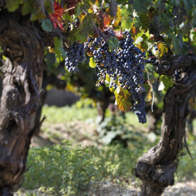 These old Limnio vines... among our treasures  #2014harvestgr #mtathos #harvest2014 #metochi #metoxi #chromitsa #greekvines #greece #winelover #greekgrapes #limnio #drinkgreek #beauty #tradition #moment #treasure #wineexperience #wine2be #agedvine #secluded