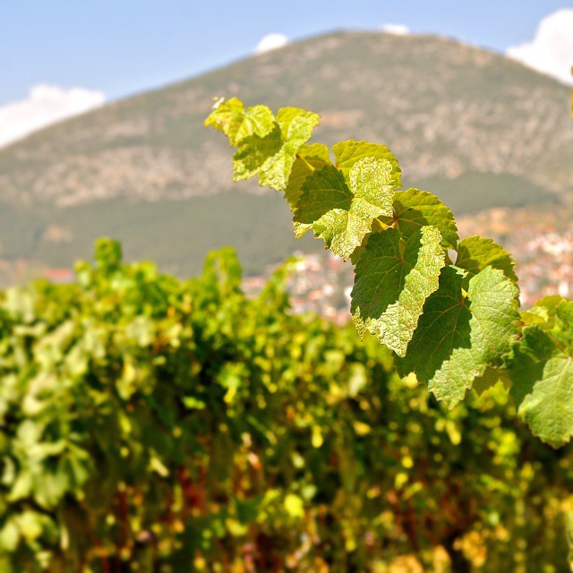 Sunny Sunday at Rapsani vineyards. We are more than half way towards 2014 harvest finish line. #2014harvestgr #Rapsani #rapsanilover #rapsanieffect #feelinglikeagod #mtolympus #divine #harvest2014 #passion #teamwork #xinomavro #krassato #stavroto #drinkGreek #greekvines #greekgrapes #winelover #sunlight #beauty #bliss #nature