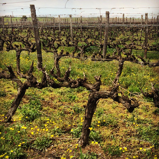 Spring vines #Halkidiki #northgreece #Greece #spring #nature #wildflowers #beauty #bliss #inspiring #greekvines #drinkGreek #winelover #springequinox