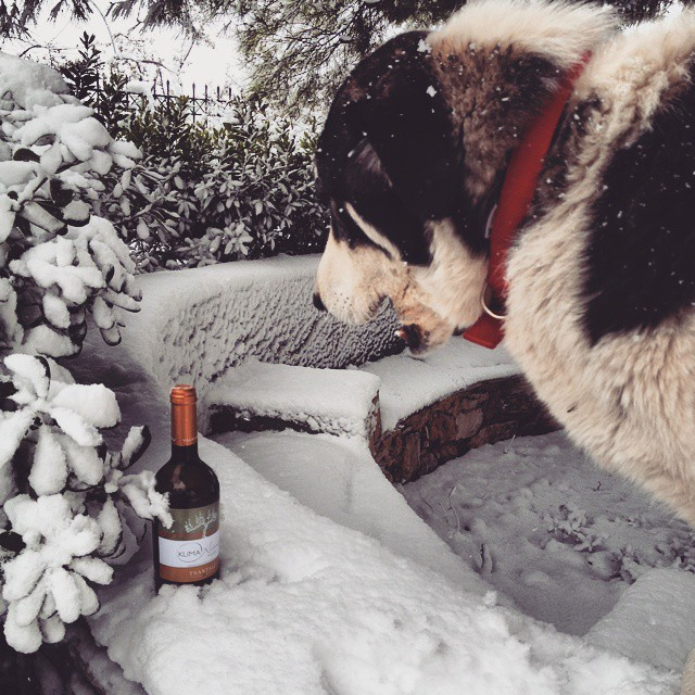Someone has just found a ray of sunlight on a snowy day. A sip of our Organic Assyrtiko from our vineyard in Halkidiki can certainly bring a bit of summer to our palate. Thanks Hera!  #assyrtiko #Halkidiki #organic #snow #dog #fun #winelover #greekgrapes #greekwine #drinkGreek #native #inmyglass #wineforall #bliss #share #discovery #indigenousgrapes #winter #bottle