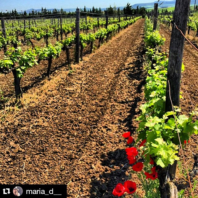 Incentive for a stunning day! #Halkidiki #greece #greekvines #nature #winelover #bliss  #Repost @maria_d__ ・・・ @winerist @tsantali