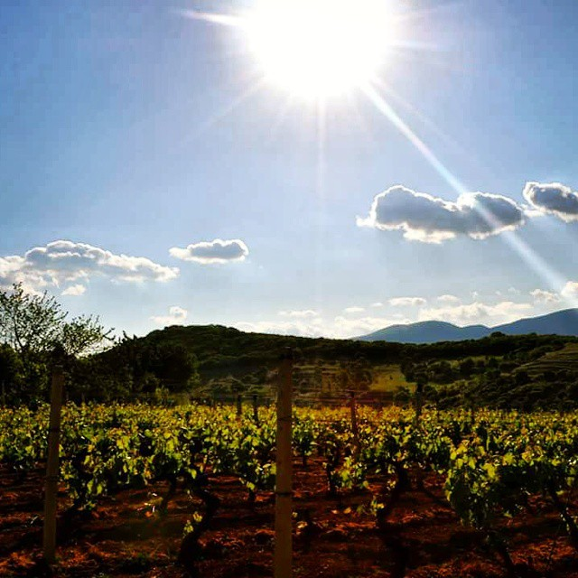 Sun is setting over the vines. #Rapsani #Mtolympus #rapsanilover #divine #xinomavro #krassato #spring  #olympian #stavroto #greekgrapes #greekvine #drinkGreek #nature #beauty #sun #sunset #blue #sky #eco #inmyglass