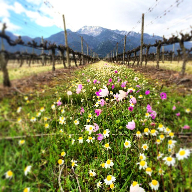 Flowery path among the vines in the shadow of imposing Mt Olympus.  #Rapsani #rapsanieffect #Mtolympus #rapsanilover #divine #olympian #homeofgods #mythology #spring #daisy #flower #nature #xinomavro #krassato #stavroto #greekgrapes #drinkGreek #greekwine #greekvines #vineyard #winerist #winelover #bliss
