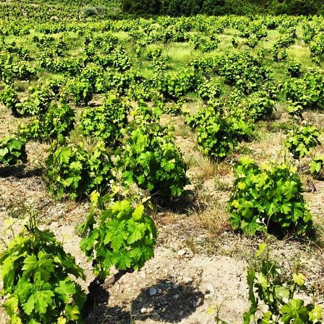 Bush mixed vines in Rapsani aka the special vine growing tradition of the region that we cherish and preserve. More challenging, more demanding... but THAT is the Rapsani soul!  #Rapsani #Mtolympus #rapsanilover #rapsanieffect #feelinglikeagod #bliss #unique #greekvines #bushvines #xinomavro #krassato #stavroto #greekgrapes #divine #olympian #mythology #challenge #soul #distinctive #passion #tradition #legacy #cocultivation